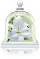 fresh-lily-fragrance
