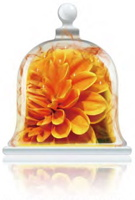 sunkissed-marigold-fragrance