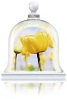 warm-tulips-fragrance